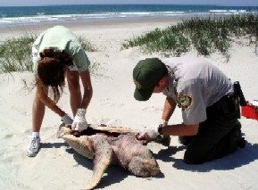 performing a necropsy on a loggerhead   hammocks beach state park overview of the nc sea turtle project  rh   seaturtle org