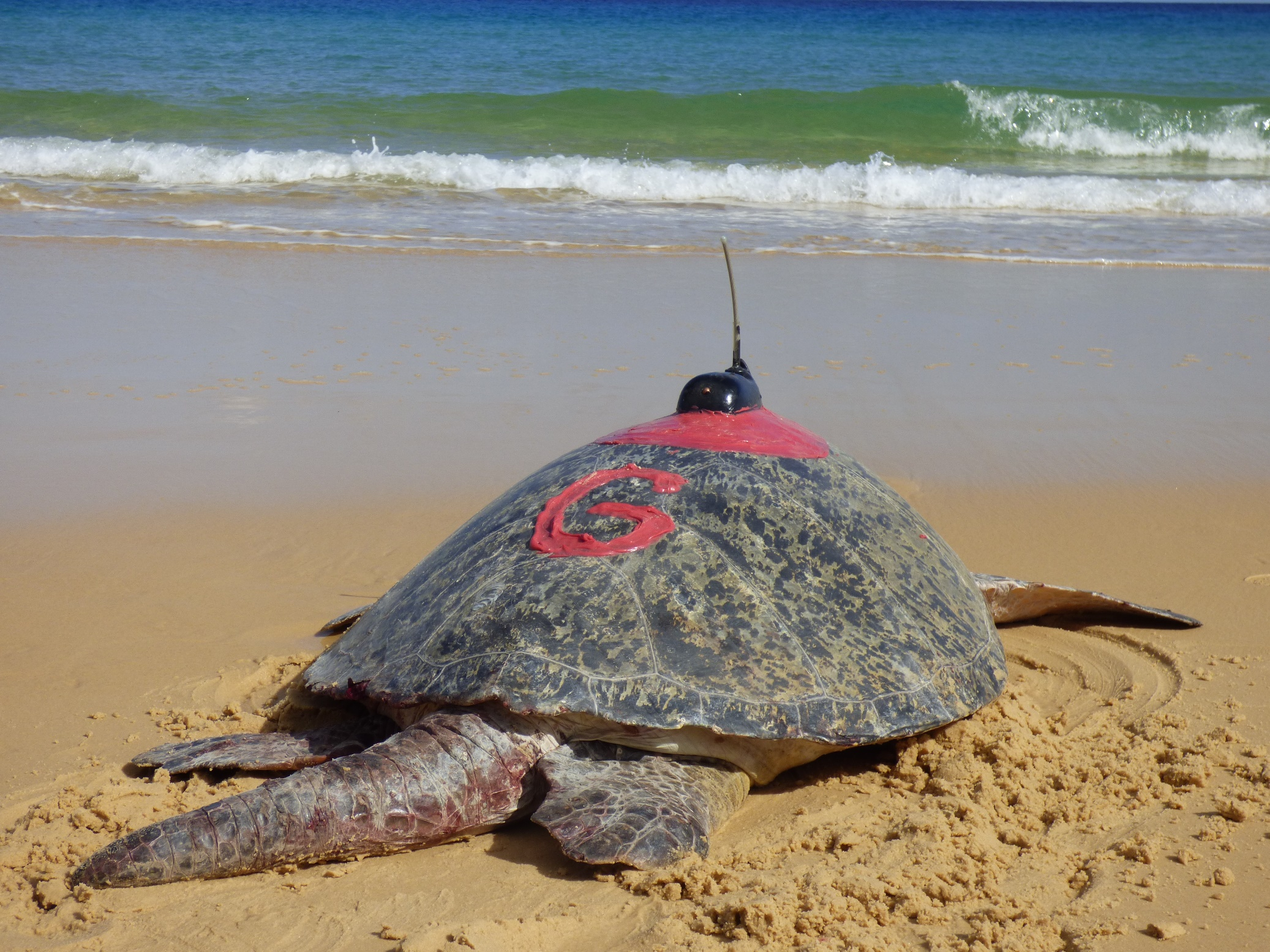 POTD: Male green turtle with satellite tag, Sandy Cape, Queensland, Australia myd.as/p8027