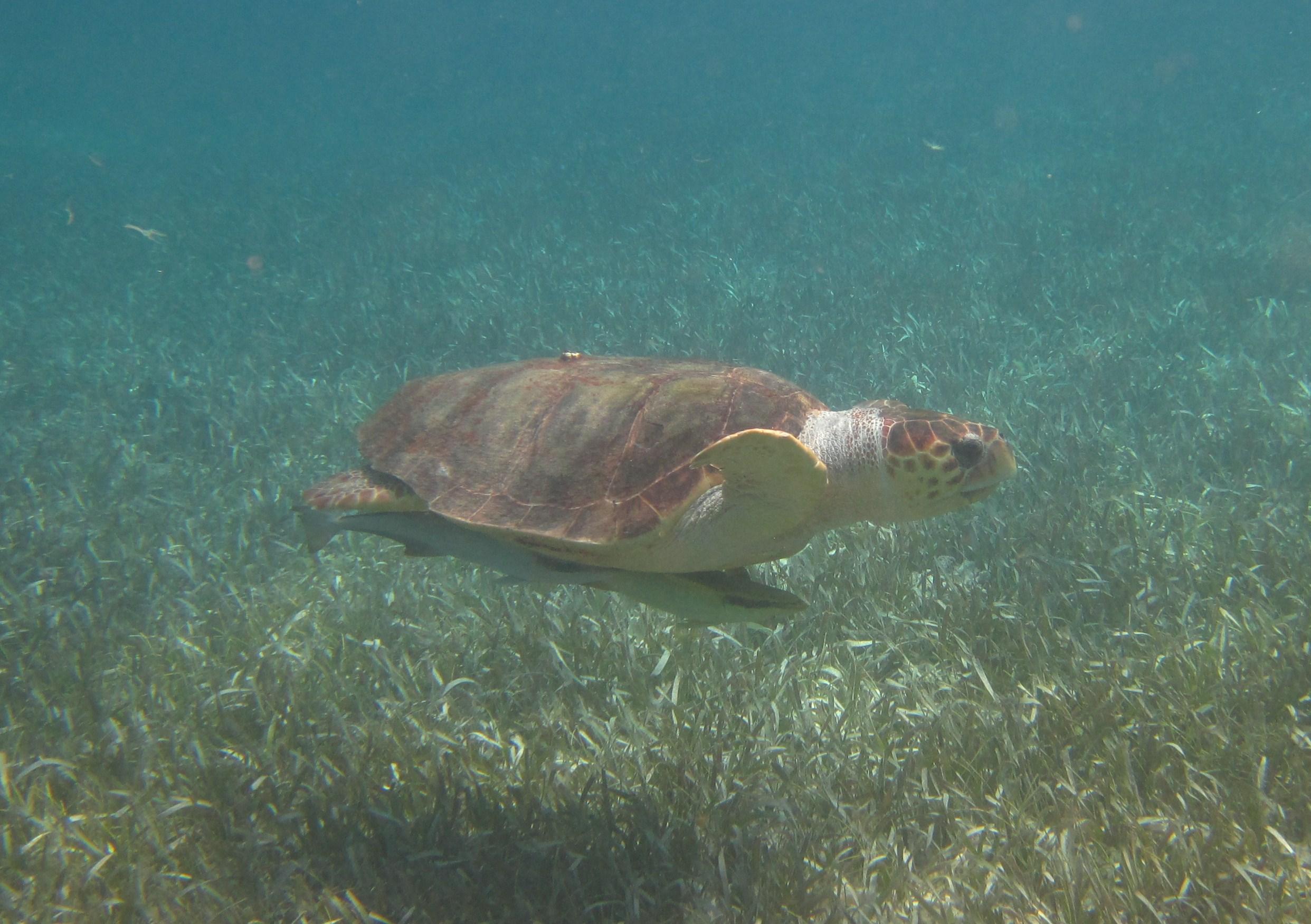POTD: Loggerhead Turtle, Belize myd.as/p6146