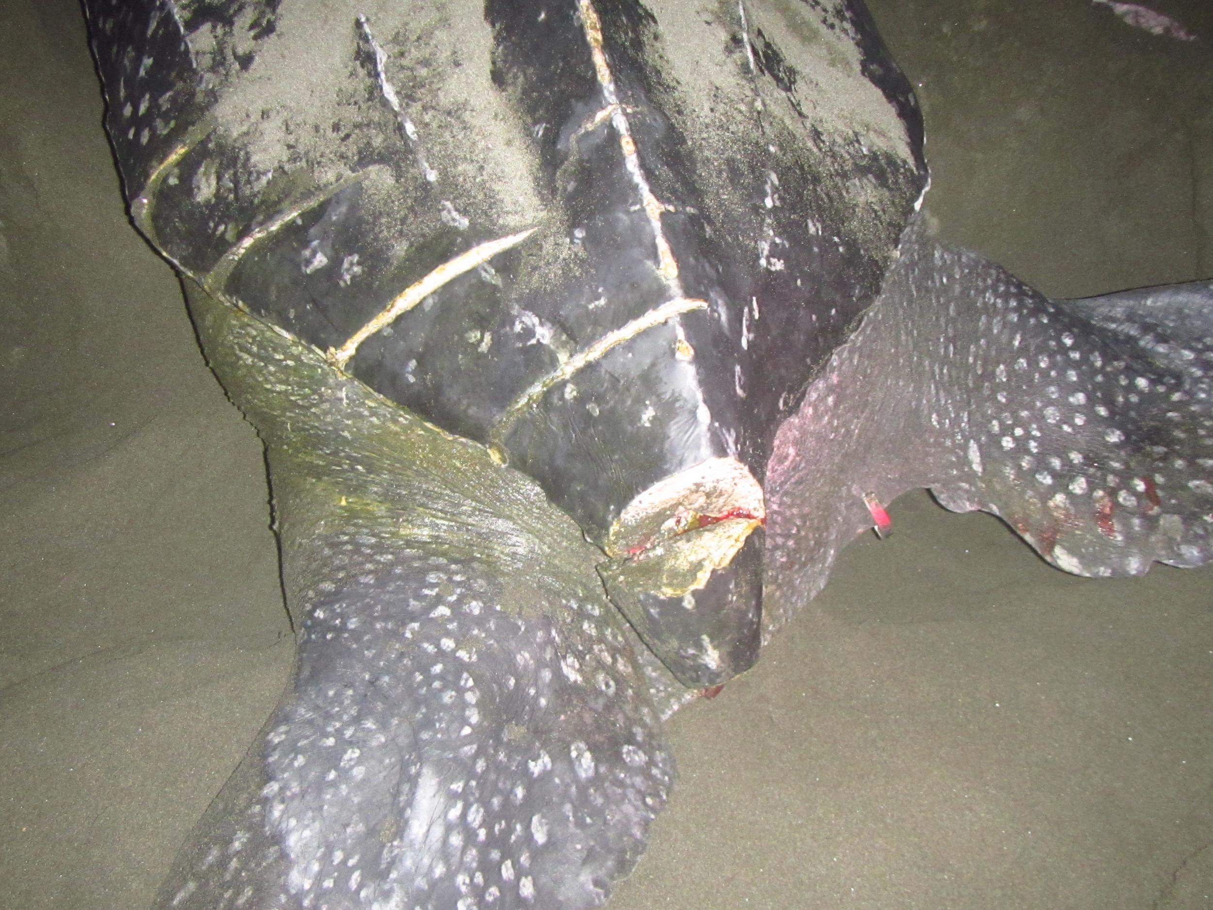 POTD: Nesting female leatherback in Pacuare Nature Reserve, Costa Rica, with boat propeller cuts myd.as/p7358