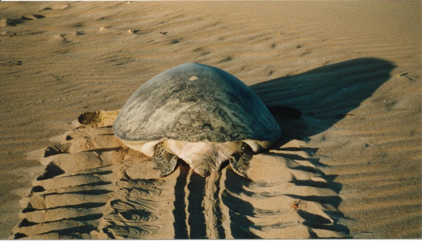 POTD: Green turtle emerging from dunes at dawn, Hermit Island Montebello Island Group, Western Australia myd.as/p36
