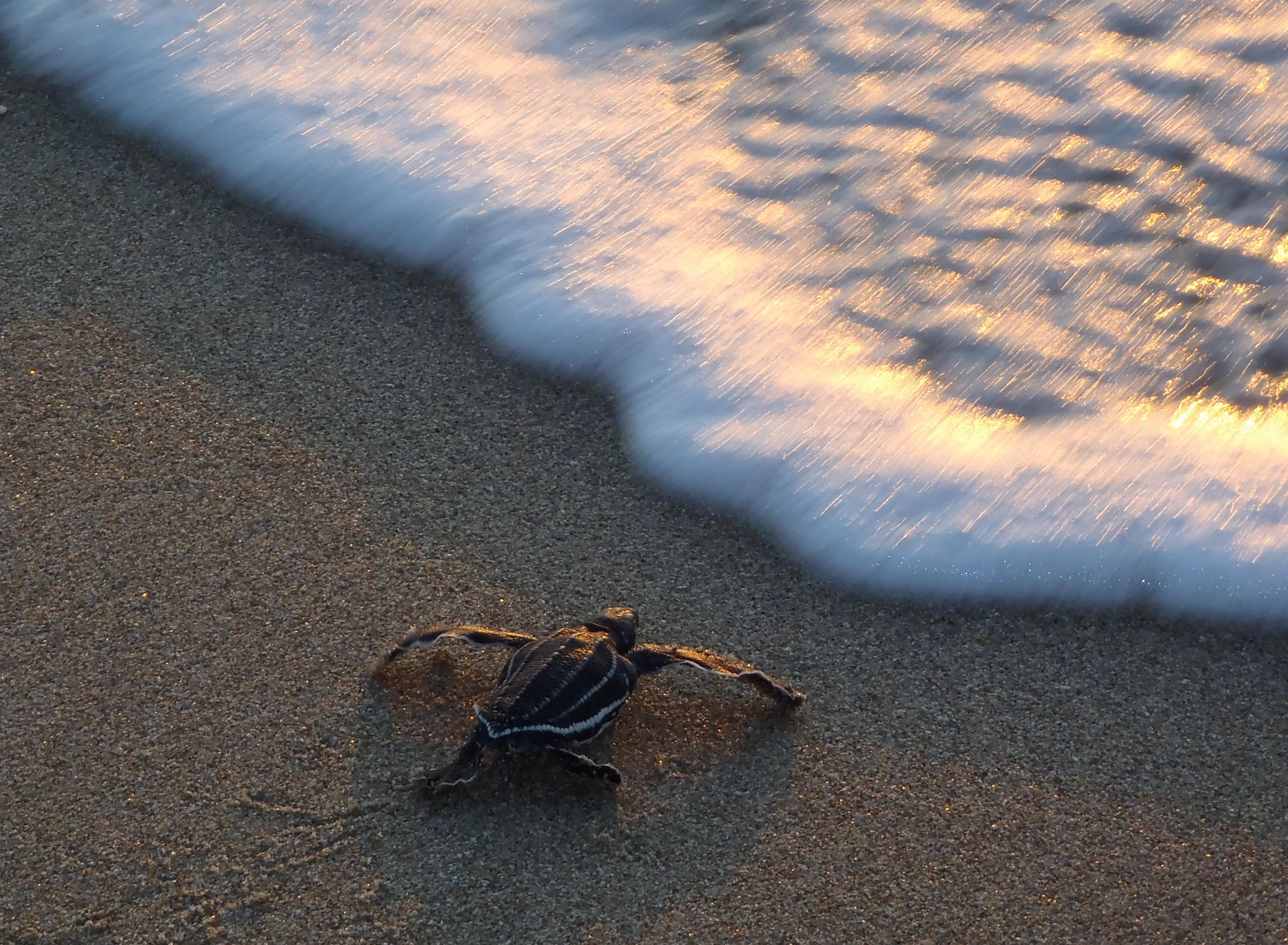 POTD: Leatherback hatchling at sunrise on Singer Island, Florida, USA myd.as/p6747