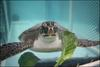 PHOTO: Green sea turtle being offered romaine lettuce. http://myd.as/p7203