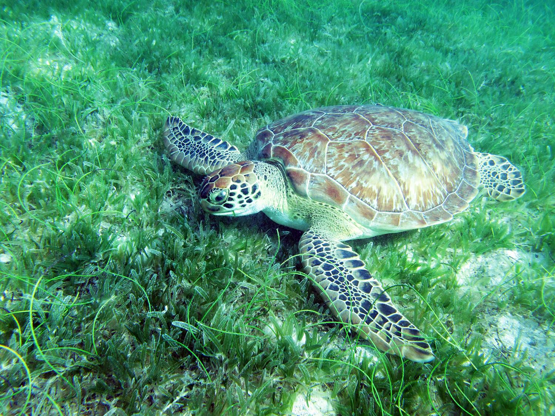 POTD: A green turtle feeding on the invasive seagrass, Halophila stipulacea, in St. John, Virgin Islands myd.as/p7625