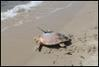PHOTO: Big Cat the Loggerhead http://myd.as/p7243