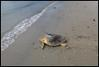 PHOTO: Delilah the Loggerhead http://myd.as/p7242