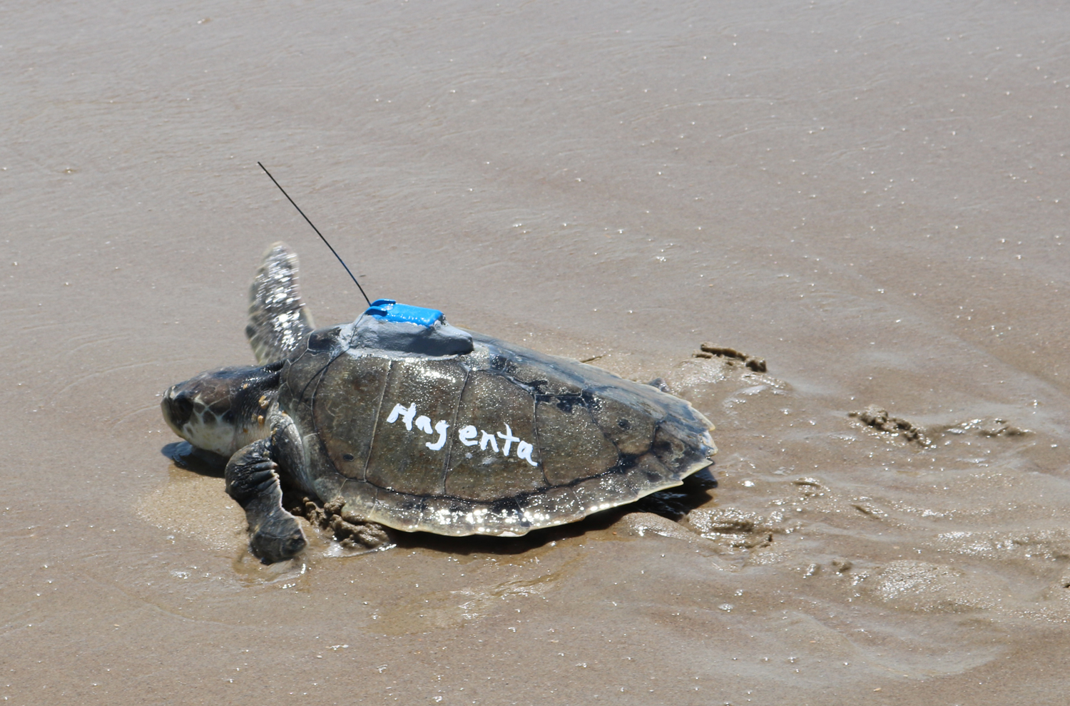 PHOTO: Magenta the juvenile Kemp s ridley Sea Turtle Released with Satellite Tag http://myd.as/p8072