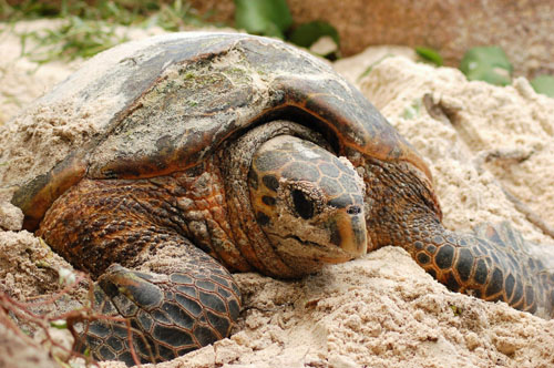 Marine Turtle Newsletter